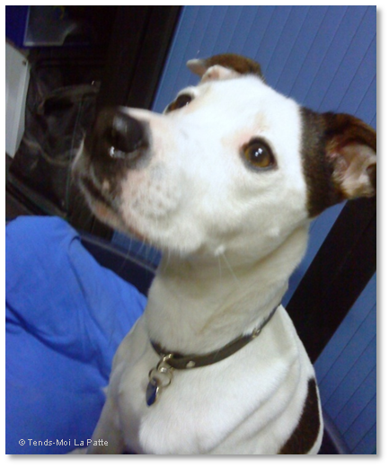 LAURA femelle croisée Lévrier et Dogue Argentin de 3 ans  Laura--co--04-26b30fe
